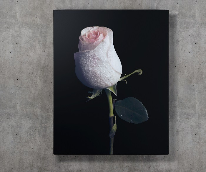 White rose wall art HD quality 3