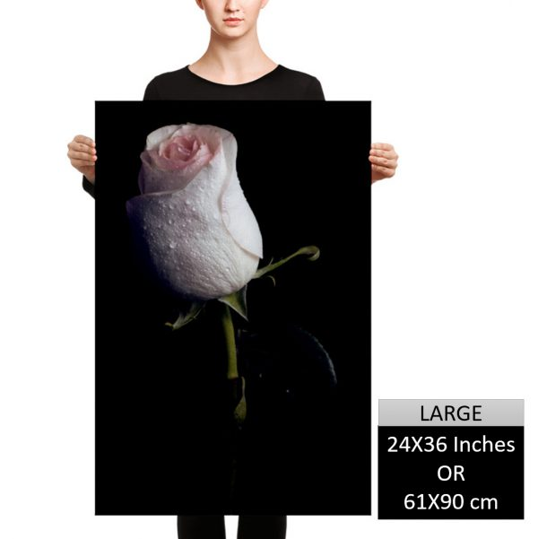 Young White Rose Wall Art HD